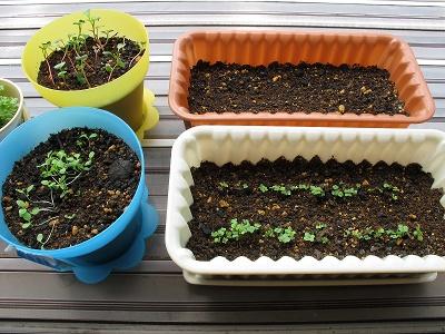 プランターに植えた野菜たち